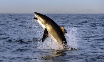 Самці і самки білих акул живуть окремо