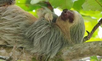 Самці лінивців потурають подружніх зрад