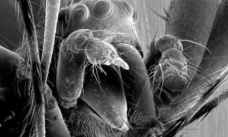 Самці павуків nephilengys malabarensis рятуються від канібалізму ставши євнухами