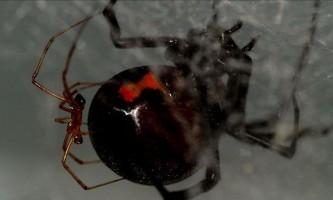 Самці павуків дізнаються `` безпечну `` самку за запахом її павутини