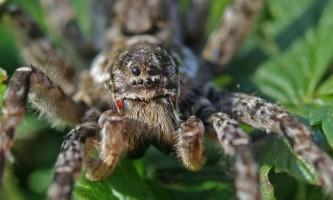 Самець павука-вовка шпигує за суперниками, щоб обігнати їх в боротьбі за спаровування
