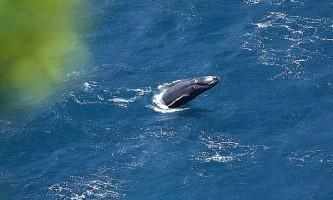 Самка горбатого кита подолала чверть земної кулі
