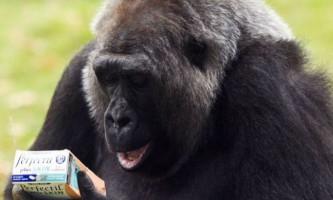 Самка горили розпочала прийом вітамінів, щоб привернути увагу нареченого