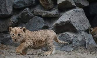 Самка лабрадора стала годує мамою для лигр з сочинського зоопарку