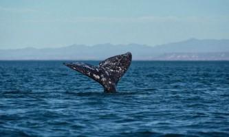 Самка сірого кита варвара визнана рекордсменом по дальності міграції