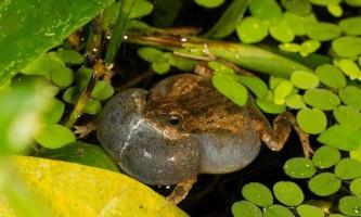 Самки південноамериканських жаб оцінюють потенційного нареченого на око, і на слух