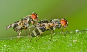 Самки мух воліють частина сперми витрачати не за призначенням