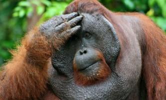 Самки орангутангів вибирають самців за розміром щік