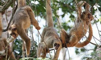 Самки павукоподібних мавп допомагають синам знайти пару