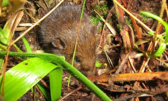 Самки співаючих мишей оцінюють самців по їх вокальним даним