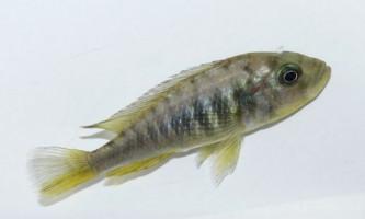 Самки риби-цихліди можуть перетворюватися в самців