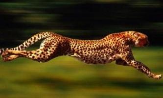 Найшвидше тварина на землі побило власний рекорд швидкості