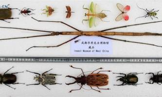 Найдовшу комаху в світі виявлено в китаї