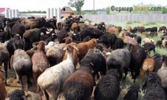 Характеристика овець едільбаєвськая породи