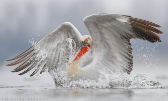 Найцікавіше про пеліканів: дивовижні факти, дивовижні фото!
