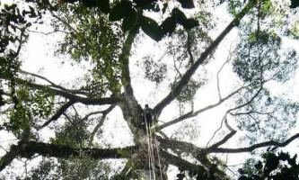 Найвища тропічне дерево в світі виявлено в малайзії