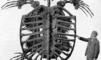 Найбільшою черепахою на землі був архелон