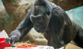 Найстарішою горилу в світі виповнилося 59 років