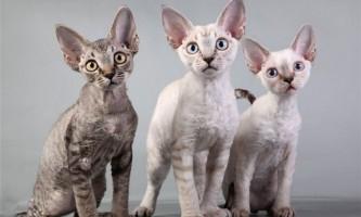 Найдорожчі і рідкісні породи кішок