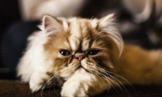 Найвідоміші породи кішок