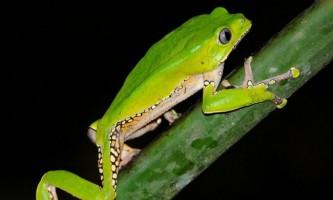 Найотруйніші і найкрасивіші жаби