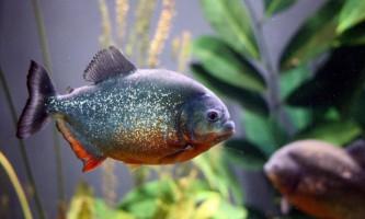 Найкрасивіші акваріумні хижаки