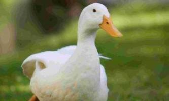Найпоширеніші породи качок