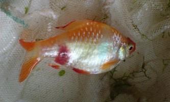 Найпоширеніші захворювання риб (частина 1)