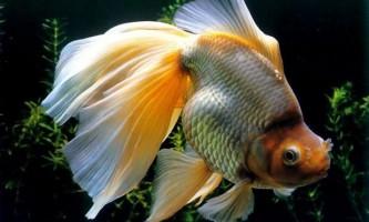 Найпоширеніші захворювання риб (частина 4)