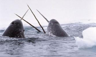 Найрідкісніші морські ссавці