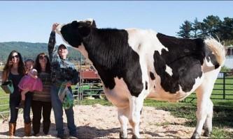 Найбільший бик в світі