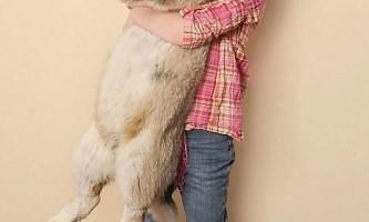 Найбільший кролик у світі