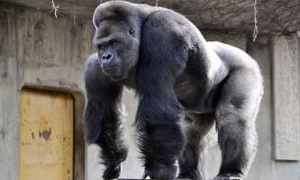 Найкрасивіший самець горили в світі став зіркою соцмереж