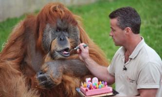 Найстаріший орангутанг в світі
