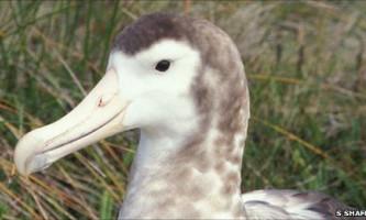 Самим рідкісним з усіх видів альбатросів визнаний амстердамський альбатрос