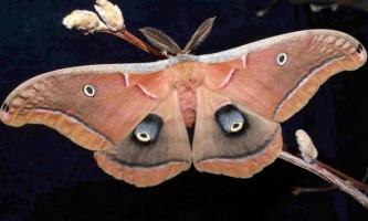 Сатурнія поліфема - метелик-циклоп
