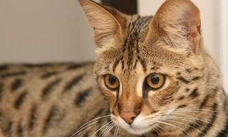 Саванна - помісь домашньої та дикої кішки