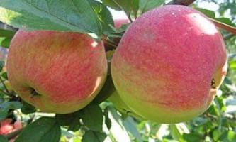 Садимо яблуню «медунка»: все про особливості сорту, посадці і догляду