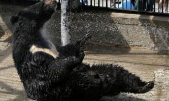 Втік гімалайський ведмідь повернувся в розплідник