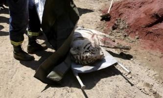 Втік із зоопарку в грузії тигр-альбінос вбив людину