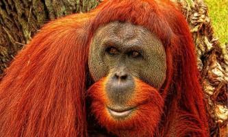 Щасливі орангутанги довше живуть