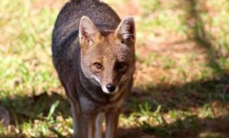 Сивий зорро - бразильська лисиця з незвичайним ім`ям