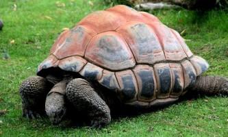 Сейшельські гігантські черепахи допомогли врятувати хурму
