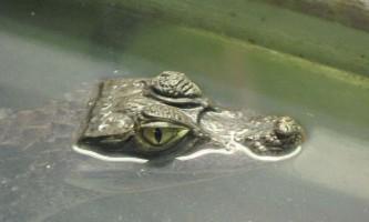 Секрет маневреності крокодила