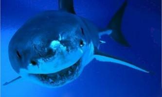 Оселедцевих або ламновие акули: все про життя цих хижаків