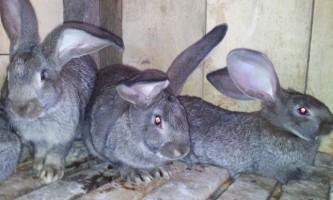Селекційні ознаки кроликів
