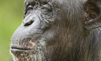 Селфі мавпи призвело до суперечки про авторські права