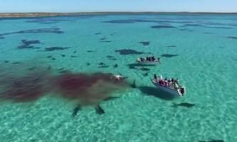 Сімдесят акул розтерзали кита на очах у туристів