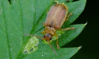 Сімейство жуків листоїдів: суничний, цибульний, калиновий
