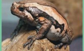 Лягушкаукрашенная бичача / kaloula pulchra